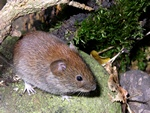Rdmus (Clethrionomys glareolus)